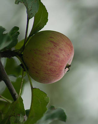 Photograph - Apple In The Tree by Miguel Winterpacht