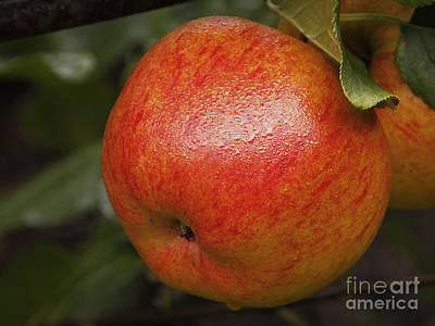 Photograph - Apple by Inge Riis McDonald