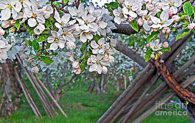 Photograph - Apple Orchard In Bloom With Props In Background Art Prints by Valerie Garner