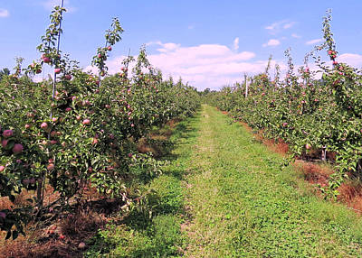 Photograph - Apple Orchard by Janice Drew