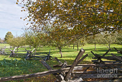 Photograph - Apple Orchard by William Norton