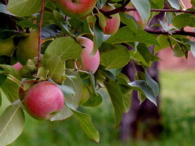 Photograph - Apple Picking Time by Wild Thing