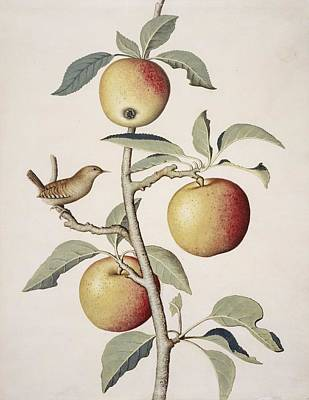 Apple Tree And Wren, 18th Century Art Print