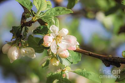 Apple Tree Blossom - Vintage Art Print by Hannes Cmarits