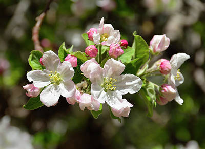 Photograph - Apple Tree Blossoms by John Brink