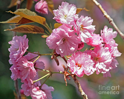 Apple Tree Blossoms Art Print by Kenny Bosak