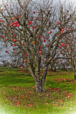 Photograph - Apple Tree II by Derek Selander