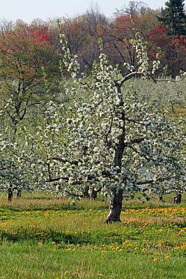 Photograph - Apple Tree In Bloom by Michael Saunders