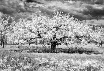 Photograph - Apple Tree In Ir by Stephen Mack