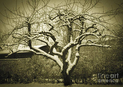Photograph - Apple Tree In Winter by Michael Canning