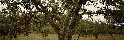 Sonoma County Photograph - Apple Trees In An Orchard, Sebastopol by Panoramic Images