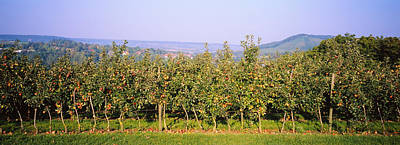 Apple Trees In An Orchard, Weinsberg Print by Panoramic Images