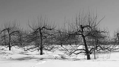 Photograph - Apple Trees In Winter 1 by Michael Saunders