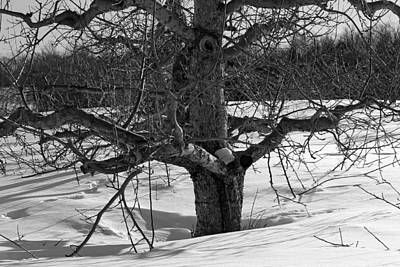 Photograph - Apple Trees In Winter Bw 2 by Michael Saunders