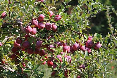 Photograph - Apples For Picking 2 by Michael Saunders