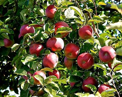 Photograph - Apples For Picking 3 by Michael Saunders