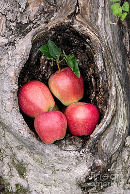 Apple Photograph - Apples In Tree by Anthony Sacco
