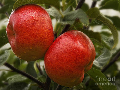 Photograph - Apples by Inge Riis McDonald