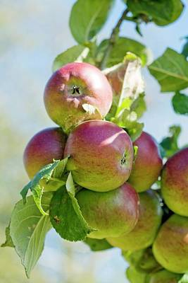 Norfolk Wall Art - Photograph - Apples (malus Domestica 'norfolk Beefing') by Emmeline Watkins/science Photo Library