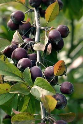 Malus Photograph - Apples (malus 'neville Copeman') by Adrian Thomas