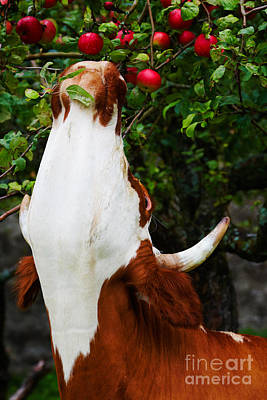 Photograph - Apples Picking Cow by Nick  Biemans