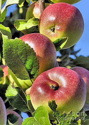 Photograph - Apples Ready For Picking by Janice Drew