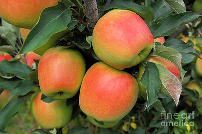 Photograph - Apples by Staci Bigelow