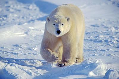 Photograph - Approaching Bear by Randy Green
