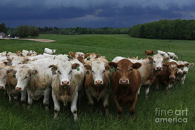 Photograph - Approaching Storm Of Rain And Cattle by Barbara McMahon