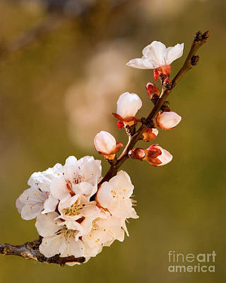Apricot Blossom At Sunrise Art Print