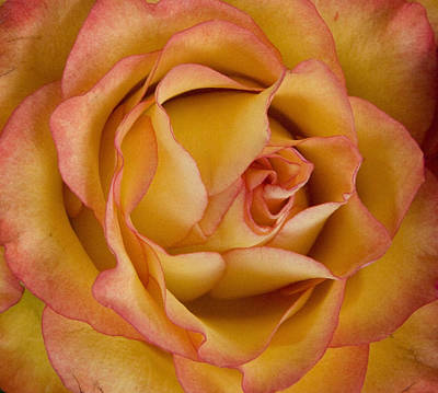 Apricot Rose Art Print