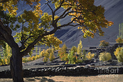 Photograph - Apricot Tree Ladakh by Craig Lovell
