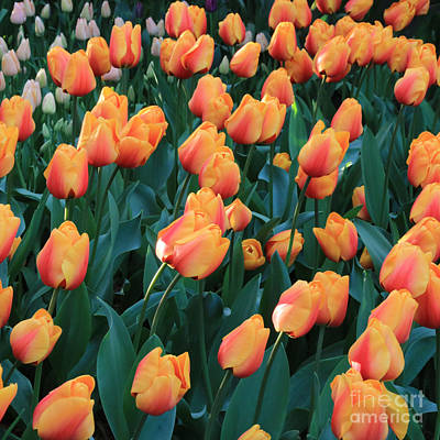 Photograph - Apricot Tulips by Carol Groenen