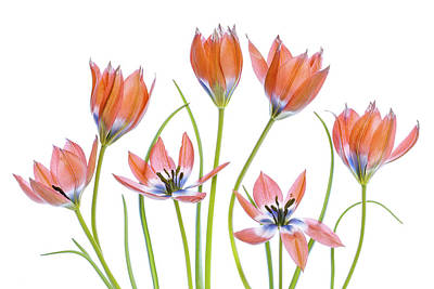 Tulip Photograph - Apricot Tulips by Mandy Disher
