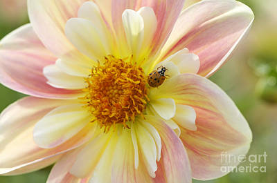 Photograph - April Heather Dahlia With Ladybug by Sharon Talson