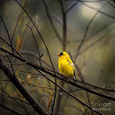 Goldfinch Wall Art - Photograph - April Showers In Square Format by Lois Bryan