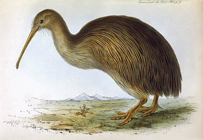 Kiwi Bird Drawing - Apteryx Australis (shaw) From The South by Mary Evans Picture Library