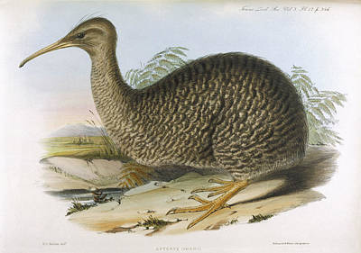 Kiwi Bird Drawing - Apteryx Owenii, Or Australis  Native by Mary Evans Picture Library
