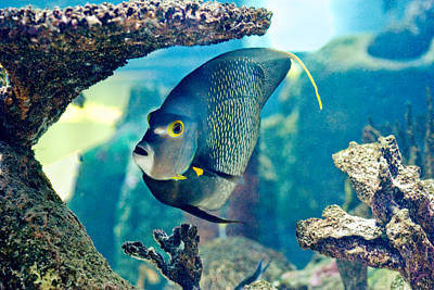 Photograph - French Angelfish by Gene Norris