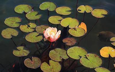 Photograph - Aquatic Garden With Water Lily by Michael Saunders