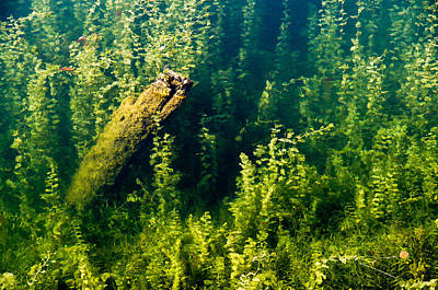 Photograph - Aquatic Jungle. Deadhead In The Shallows. by Rob Huntley