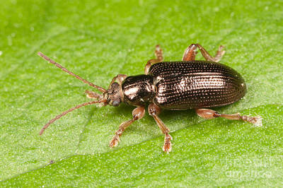 Photograph - Aquatic Leaf Beetle by Clarence Holmes