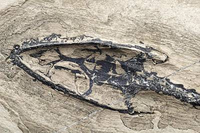 Triassic Photograph - Aquatic Reptile Skull by Science Photo Library