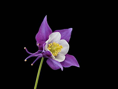 Aquilegia - Purple Art Print