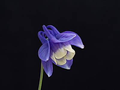 Photograph - Aquilegia Flabellata -1 by Paul Gulliver