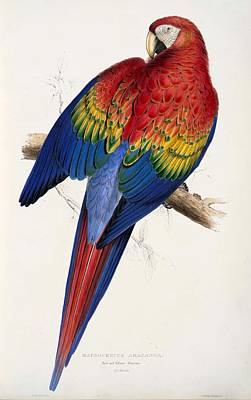 Parrot Art Painting - Ara Macao by Edward Lear