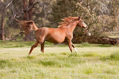 Arabian Horse Running Free Art Print by Michelle Wrighton