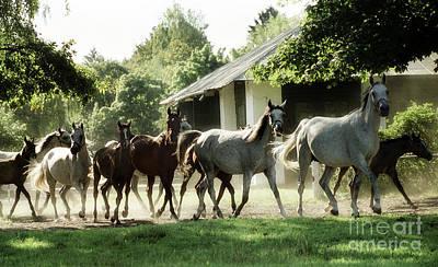 Arabian Horses Art Print by Angel Ciesniarska