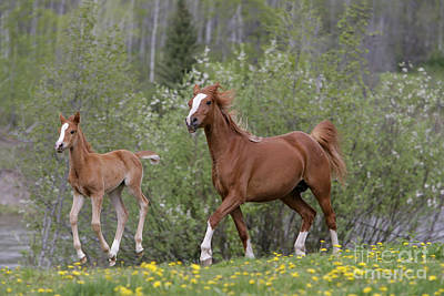 Photograph - Arabian Mare And Foal by Rolf Kopfle