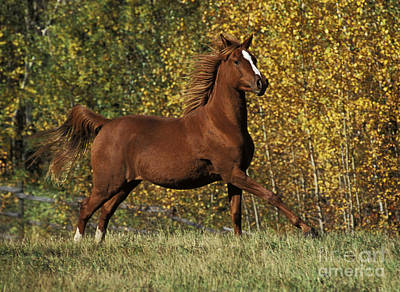 Photograph - Arabian Running In Field by Rolf Kopfle